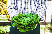 Mann hält frisch geernteten Bio-Kopfsalat