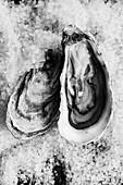 Oysters on salt, Sweden.