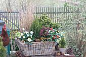 Winterfest bepflanzter Korb-Kasten mit Christrose