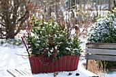 Winterfest bepflanzter Korbkasten mit Kiefer