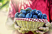 Farmer holding a basket full of fresh plums