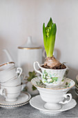 Hyacinths in old china cup
