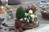 Bepflanzte Schale mit Christrose und Blütenskimmie