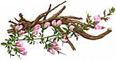 Spiny restharrow (Ononis spinosa)