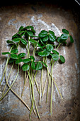 Clover-like, edible leaves with citrus notes