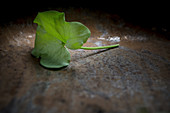 Sour, edible leaf