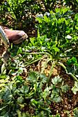 Selleriepflanze ausgraben