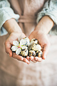 Natural colored quail eggs in feminine hands with tender Spring almond blossom flower and feather