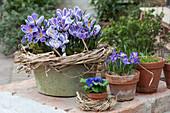 Frühlings-Krokus 'Striped Beauty'  in Blech-Schale