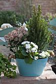 Frühlings-Schale mit Zuckerhutfichte, Blütenskimmie und Primel