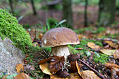 Boletus (mushroom) in moss and foliage