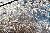 Blüten von Chinaschilf mit Schnee gefroren im Garten