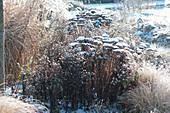 Verschneite Samenstände von Fetthenne und Aster im Winter