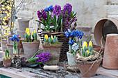 Hyazinthen, Tulpen und Iris in Töpfe pflanzen
