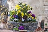 Akazie und Zwiebelblumen im Korbkasten