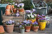 Krokus-Arrangement in Töpfen auf der Terrasse