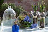 Hyazinthe 'Delft Blue' mit Moos in Glasglocke