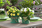 Primeln mit gefüllten Blüten als Tischdekoration