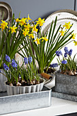 Narcissi and grape hyacinths in zinc containers