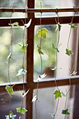 Garland of ivy leaves decorating window