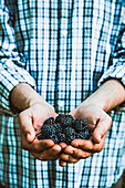 Farmers hands with freshly harvested organic blackberries