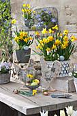 Terrassen-Arrangement mit Narzissen und Traubenhyazinthen