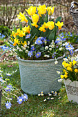 Frühlingskorb mit Narzissen und Tulpen