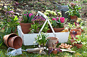 Korb mit Primeln und Tulpen zum einpflanzen