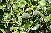 Trifoliate citrus (Poncirus trifoliata)