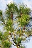 Longleaf pine (Pinus palustris)