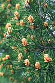 Lace-bark pine (Pinus bungeana)