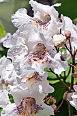Northern catalpa (Catalpa speciosa) flowers