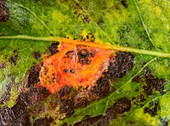 Pear rust on pear leaf