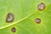 Phyllosticta lesions on holly leaf