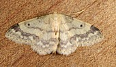 Small fan-footed wave moth