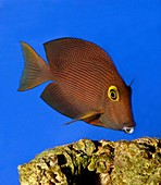 Two-spot bristletooth tang