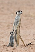 Adult meerkat with young pup at a burrow