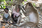 Male Long-tailed macaque grooming female