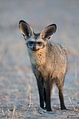 Bat-eared fox adult