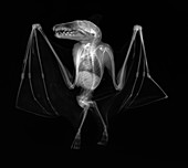 Egyptian fruit bat, X-ray