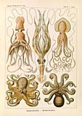 Gamochonia octopuses, 1904 illustration