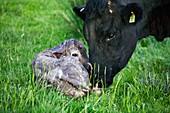Newborn calf and mother