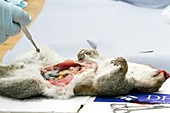 Grey squirrel being dissected