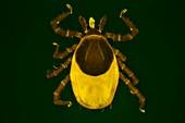 Tick, light micrograph