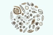 Foraminifera, light micrograph