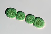 Chroococcus cyanobacterium, light micrograph