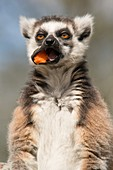 Captive ring tailed lemur eating fruit
