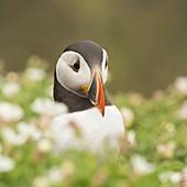 Puffin in sea campion on Skomer Island, Pembrokeshire, UK