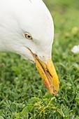 Herring gull on Skomer Island, Pembrokeshire, UK