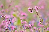 Red campion and bluebells, Skomer Island, Pembrokeshire, UK